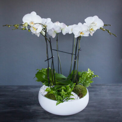 Deluxe-White-Orchid