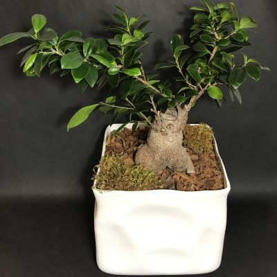 Ficus Dwarf Bonsai