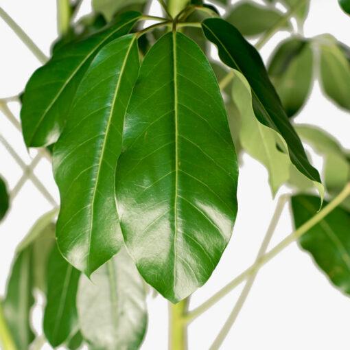 Schefflera-Amate leaf