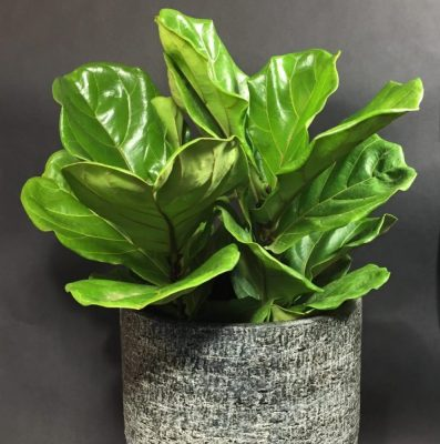fiddle-leaf-ficus-red-square-flowers