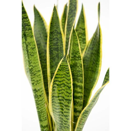 sansaveria leaf