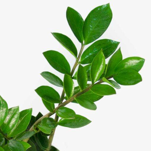 zz plant leaf