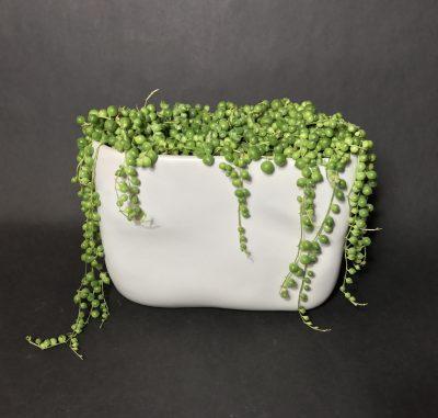 strings of pearls succulents