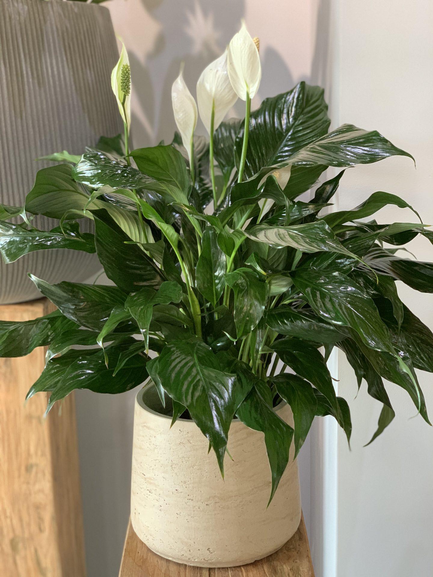 white and green leaves weed, epipremnum pothos house plant, potted white azalea plant, serene peace plant, white calla lily plants, on white and green leaves house plant