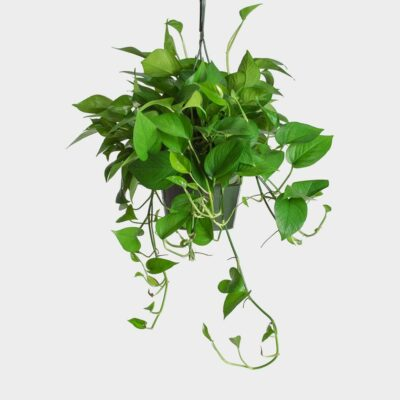 Pothos Madison WI