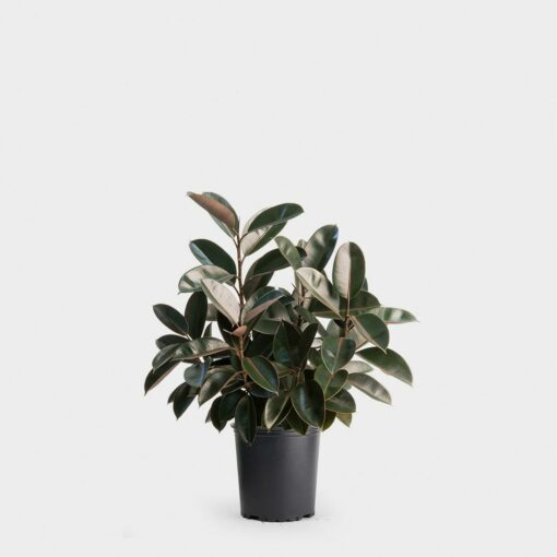 Ficus Elastica Burgundy Madison WI