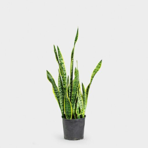 Sansevieria Madison WI